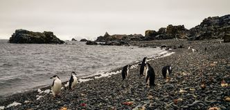 Chinstrap and Gentoo Penguins coming out of the ocean on Deception island in Antarctica. stock photos