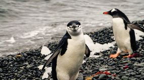 Chinstrap and Gentoo Penguins coming out of the ocean on Deception island in Antarctica. royalty free stock images