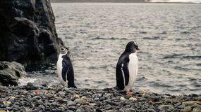 Chinstrap and Gentoo Penguins coming out of the ocean on Deception island in Antarctica. royalty free stock image