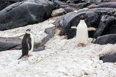 Chinstrap och Adelie pingvin som går i snö på bakgrunden royaltyfri foto