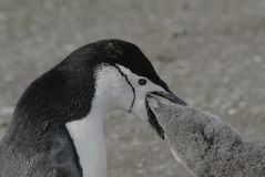 Chinstrap Penguin Stock Photo