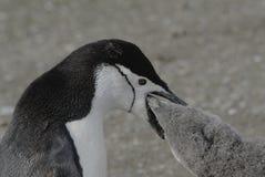 chinstrap penguin Στοκ Εικόνες