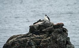 Chinstrap penguin 36 Stock Photos