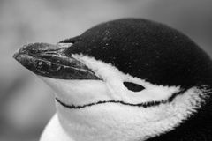 Chinstrap penguin 43 Stock Image
