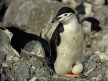 Chinstrap Penguin. With egg Royalty Free Stock Images