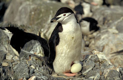 Chinstrap penguin. With its egg Stock Images