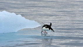 Chinstrap Penguin in Anatcrtica Stock Images