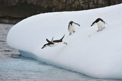 Chinstrap Penguin in Anatcrtica Stock Photo