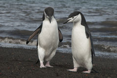 Chinstrap Penguin in Anatcrtica Royalty Free Stock Images