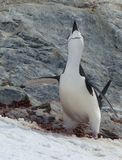 A Chinstrap penguin announces he is ready for his mate. A Chinstrap penguin has arrived ashore in Antarctica. He stakes his claim on a nest site and calls to his stock photography