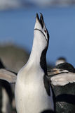 Chinstrap penguin, Antarctica Royalty Free Stock Photography