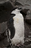 Chinstrap penguin in Antarctica Stock Image