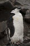Chinstrap penguin in Antarctica Stock Image