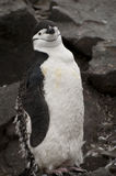 Chinstrap penguin in Antarctica Stock Images