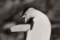 Chinstrap Penguin Antarctica. Chinstrap penguin reaching back to preen back of wing Deceptin Island Antarctica Royalty Free Stock Photos