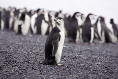 Chinstrap Penguin Antarctica. Lone chinstrap penguin standing on black rocky beach with crowd of penguins as background Deception Island Antarctica Royalty Free Stock Images