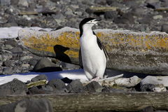Chinstrap Penguin Antarctica. Chinstrap penguin standing on rocky beach with lichen covered whale bone as bacground Deception Island Antarctica Stock Photography
