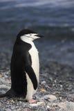 Antarctica - Chinstrap Penguin Stock Image