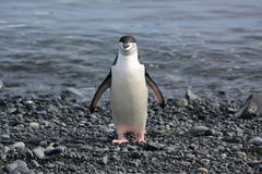 Chinstrap penguin in Antarctica. Chinstrap penguin (Pygoscelis antarctica) in Antarctica. Looking straight into camera Stock Image