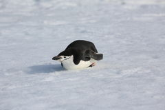 Chinstrap penguin in Antarctica. Chinstrap penguin (Pygoscelis antarctica) in Antarctica, lying down on the snow Stock Photo