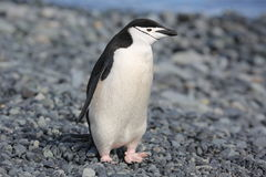 Chinstrap penguin in Antarctica. Chinstrap penguin (Pygoscelis antarctica) in Antarctica, standing on the beach Stock Photos