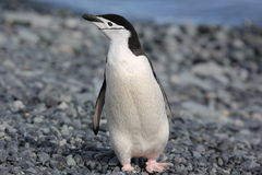 Chinstrap penguin in Antarctica. Chinstrap penguin (Pygoscelis antarctica) in Antarctica, standing on the beach Royalty Free Stock Photos