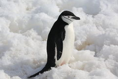 Chinstrap penguin in Antarctica. Chinstrap penguin (Pygoscelis antarctica) in Antarctica, standing on the snow Royalty Free Stock Image