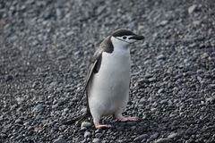 Chinstrap penguin in Antarctica. Chinstrap penguin (Pygoscelis antarctica) in Antarctica, walking on the beach Royalty Free Stock Images