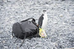 Chinstrap Penguin with bag Royalty Free Stock Photography