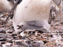 Chinstrap penguin chick. A chick of a Chinstrap penguin in the nest in Antarctica royalty free stock photos