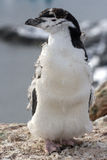 Chinstrap Penguin or Chinstrap able to molt Royalty Free Stock Photos