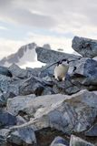 Chinstrap penguin climbing over rocks Royalty Free Stock Photos