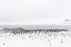 A Chinstrap Penguin Colony with rocks and snow Royalty Free Stock Image