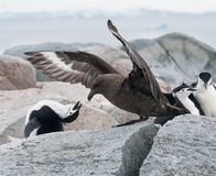 Adult Chinstrap Penguin defending nest from adult Brown Skua, Useful Island, Antarctic Peninsula royalty free stock photography
