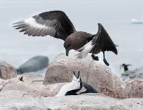 Adult Chinstrap Penguin defending nest from hovering adult Brown Skua, Useful Island, Antarctic Peninsula stock image