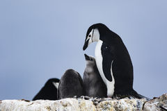 Chinstrap Penguin feeding its chick Stock Images