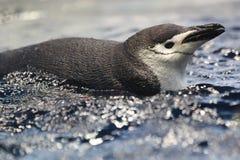 Chinstrap penguin Stock Photo