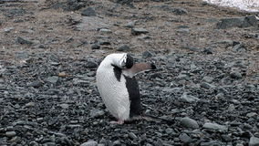 Chinstrap Penguin on Half Moon Island stock video