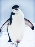 A Chinstrap penguin Royalty Free Stock Photos