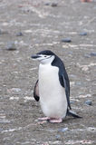 Chinstrap penguin holding rock. Stock Photography