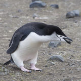 Chinstrap penguin holding rock. Stock Image