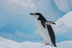 Chinstrap Penguin on the ice. Chinstrap Penguins on the ice in Antarctica Stock Photo