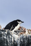 A Chinstrap Penguin and its chick Royalty Free Stock Photo
