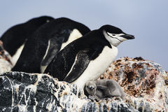 Chinstrap Penguin and its chick Stock Photos