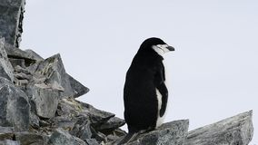 Chinstrap Penguin on the nest stock video