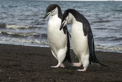 Free Chinstrap Penguin On The Beach Royalty Free Stock Photography - 92300407