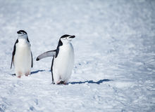Chinstrap penguin Royalty Free Stock Photography