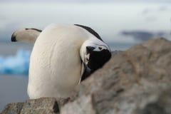 Χαριτωμένη κινηματογράφηση σε πρώτο πλάνο Chinstrap penguin (Pygoscelis Ανταρκτική) Στοκ Φωτογραφία