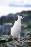 Chinstrap penguin (Pygoscelis antarctica) on Half Moon Island, Bransfield Strait, Antarctica Stock Photography