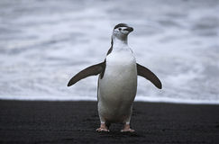 Chinstrap Penguin (Pygoscelis antarcticus) at seashore Stock Photography